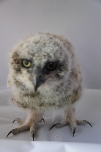 Gonzo, the Great Horned Owl
